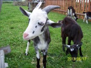 Chowanie kóz