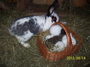 Chowanie królików