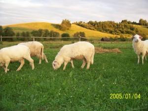 Chowanie owiec
